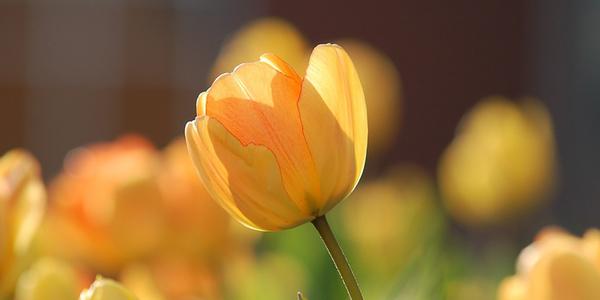 Tulpen, © pixabay/free